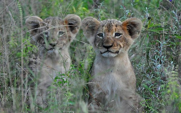 Lion Cubs Service Learning Tour Limpopo