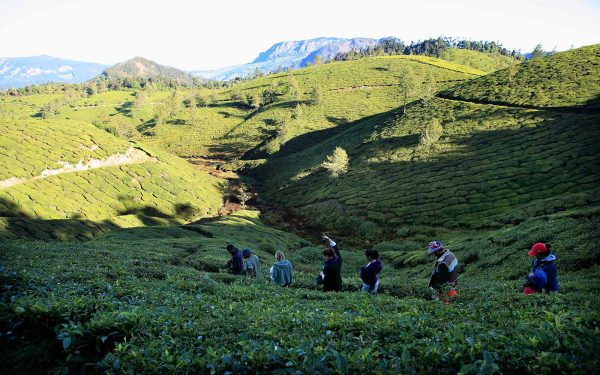 Trekking in tea fields Community Service Learning Tour India