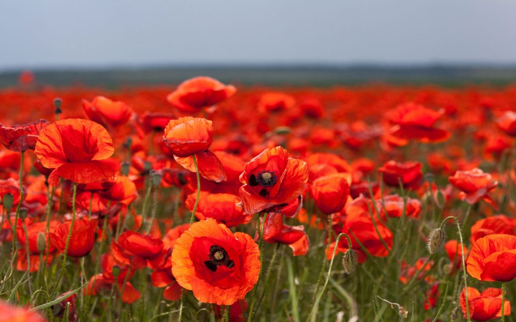 Poppies in Flanders Field World War I Tour Battlefields Tour The Somme