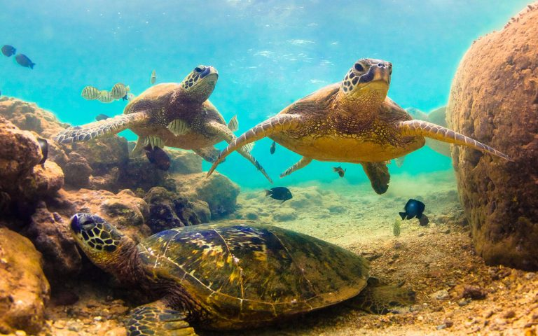 Turtles swimming in shallow waters