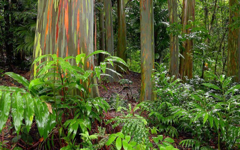 Colourful bark on trees in rainforest