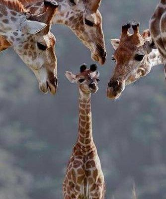 Baby giraffe with 3 adult giraffes looking down at it